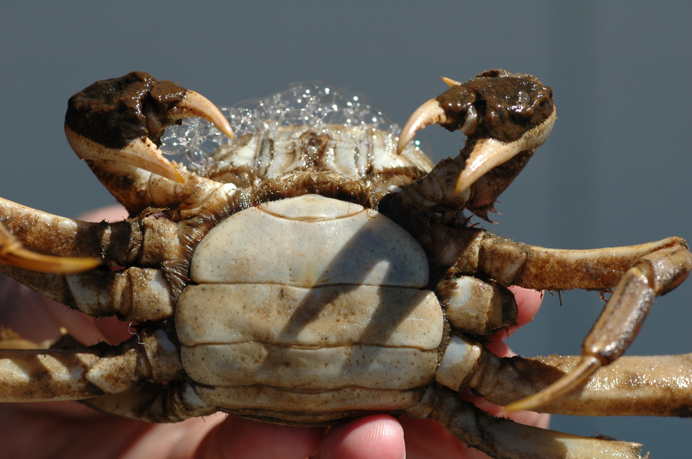 female crab bottom
