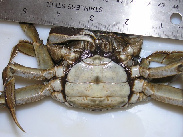 Medium mc107 mitten crab sparkill 092909f2